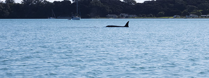Orcas: An Unexpected Sighting and A Bucket List Item Ticked.