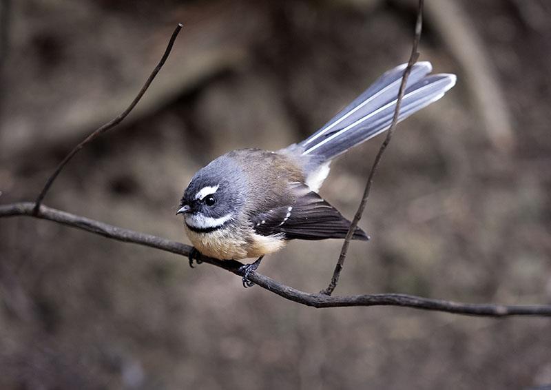 New Zealand Bird Links